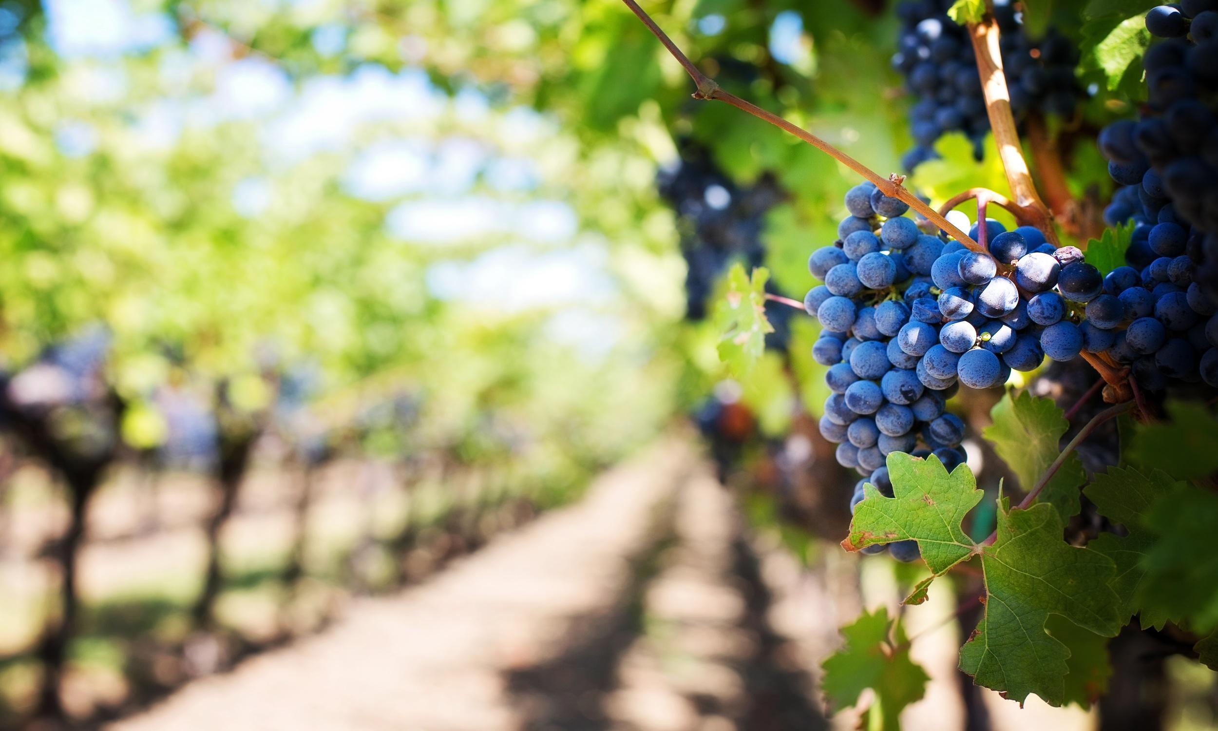 capter la température des pieds de vigne